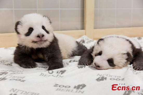 "Berlin Zoo's twin panda cubs Meng Xiang and Meng Yuan are nominated as finalists of ""panda cub of the year"", a category under the Giant Panda Global Awards this year. (Photo provided to China News Service)"