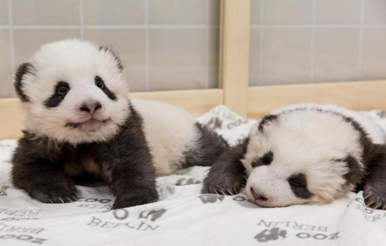 Berlin giant panda twins in running for global cubs of the year
