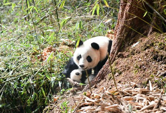 Giant panda Qiao Qiao and its cub in Wolong National Nature Reserve in southwest China's Sichuan Province, Dec. 12, 2019. A giant panda mother raised in captivity was brought back to the conservation center Thursday after mating with a wild panda and giving birth to twins in southwest China.