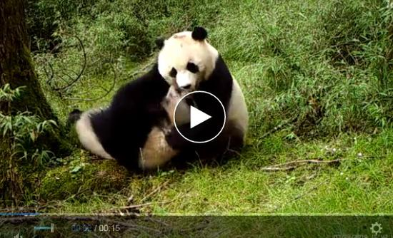 Wild twin pandas seen thriving in rare video