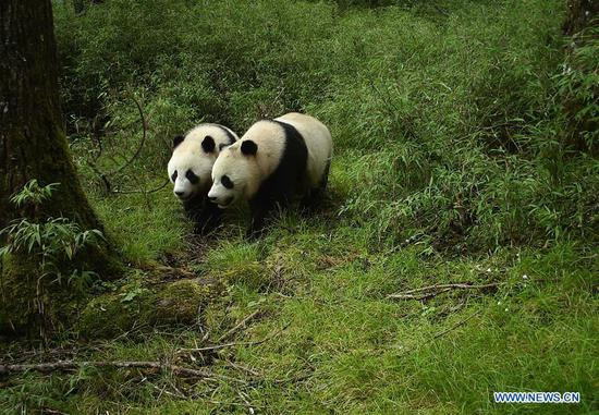 Wild sub-adult panda twins captured on camera for first time
