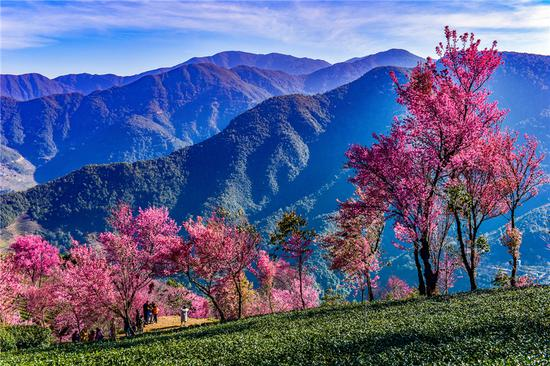 Cherry blossoms blooming in Yunnan