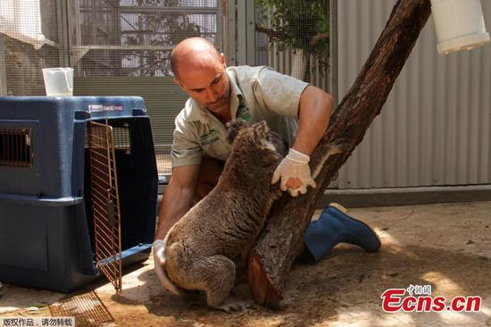 Koalas rescued from path of raging bushfire
