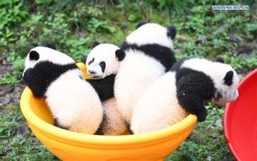4 panda cubs mark half-year anniversary in SW China zoo