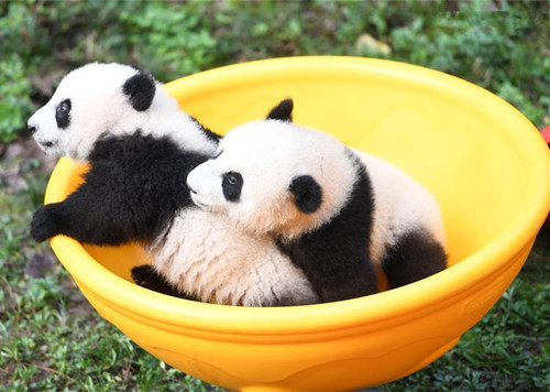 Zoo holds half-year-old birthday celebration for four panda cubs in Chongqing