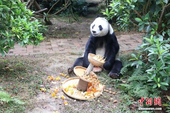 Panda Meihin enjoys his birthday dinner on Dec. 23, 2019. (Photo/China News Service)