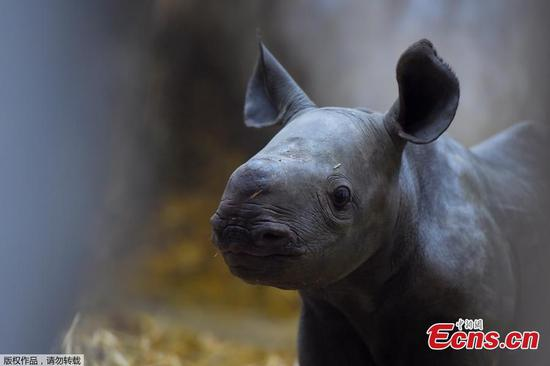 Endangered black rhino born in French zoo