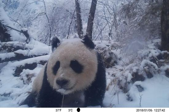 Photo taken on Jan. 6, 2018 by an infrared camera shows a wild giant panda in Baishuijiang National Nature Reserve in northwest China's Gansu Province. (Xinhua/Baishuijiang National Nature Reserve)
