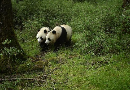 Panda recognition tech relieves human work in nature reserve