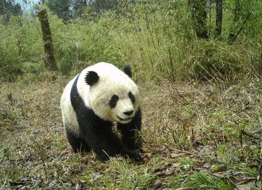 Panda recognition tech a boon for wildlife rangers