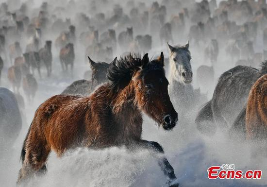 Tens of thousands of horses gallop on snowy grassland in northwest China