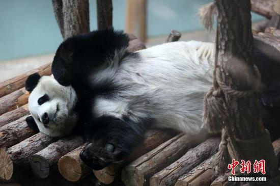 A panda plays at the Panda House of the Qinghai-Tibet Plateau Wild Zoo, Dec. 26, 2019. (Photo/China News Service)