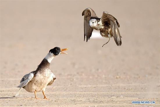 猎鹰训练展在科威特举行