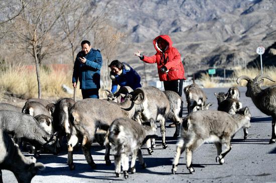 喜马拉雅蓝羊在宁夏公园觅食