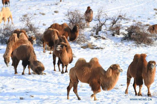 Camel-themed eco-tourism park in China's Xinjiang
