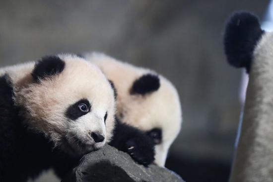 比利时的熊猫家庭祝您新年快乐!