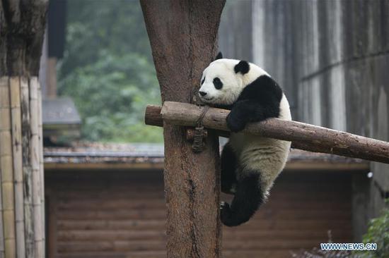 新年假期游客来大熊猫