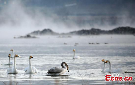 Swans arrive in NW China county for winter