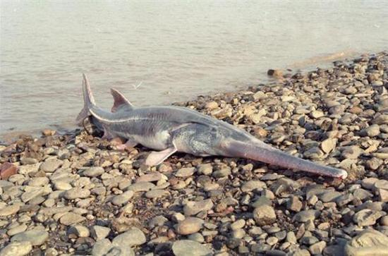 File photo of a Chinese paddlefish. (Photo source: Chutian Metropolis Daily)