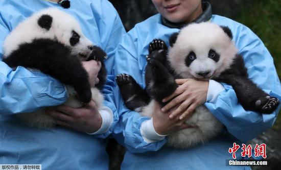 Two giant pandas born in Belgium win
