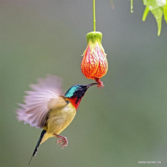 Fork-tailed sunbirds eat nectar at West Lake Park in Fuzhou