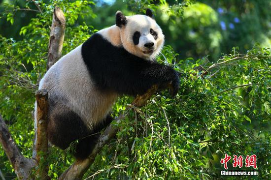 Giant panda Gong Gong plays at the Hainan Tropical Wildlife Park and Botanical Garden. (File photo/China News Service)
