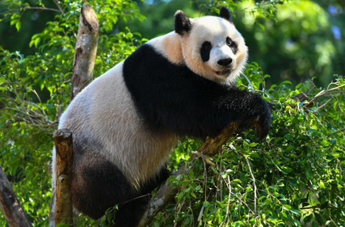 'Most Popular Giant Panda in China' makes headlines