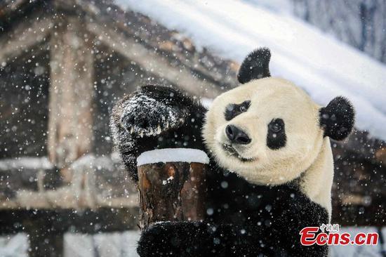 济南大熊猫享受本季第一场雪