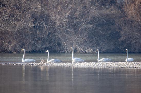 黑河湿地国家级自然保护区140只天鹅越冬