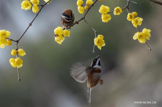 Wintersweet flowers seen in China's Jiangsu