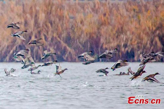 Baer's pochards seen in Zhijiangjin Lake