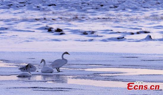 巴彦布鲁克草原上的天鹅创造了童话般的冬季景色