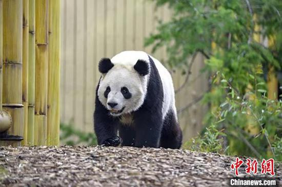Canadian-born panda twins return to China