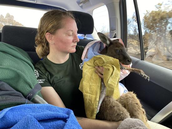 Animal welfare group begins search, rescue mission for wildlife on Kangaroo Island