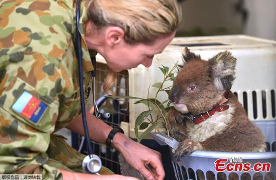 Koala hospital scrambles to save hundreds injured in bushfires
