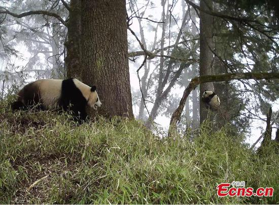 Infrared camera captures wild panda mother with her cub
