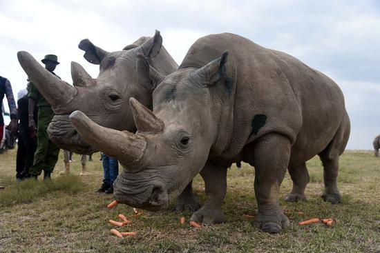 Thirty-year-old Najin (L) and nineteen-year-old Fatu, the last two northern white rhinos are seen in Ol Pejeta Conservancy, Laikipia County, Kenya, Aug. 23, 2019. (Xinhua/John Okoyo)