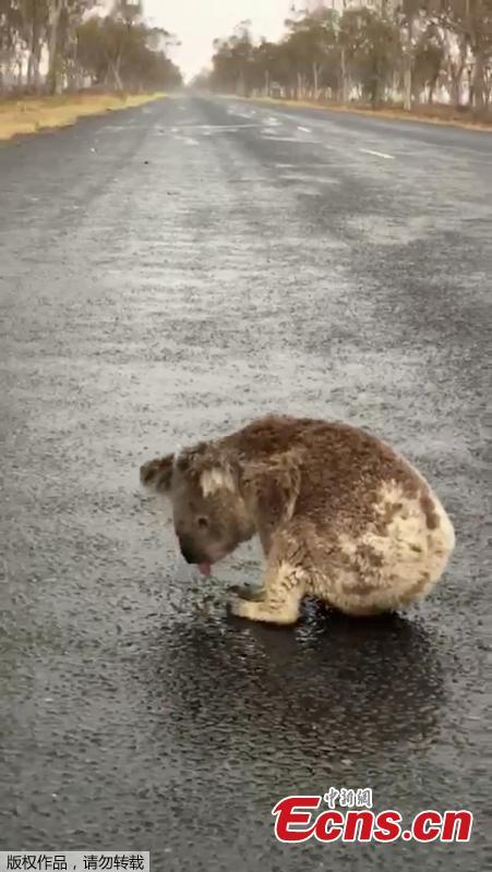 Australia fires: Thirsty koala licks rainwater off road