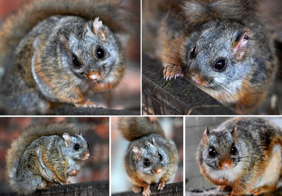 Flying squirrels bring new life to villagers in NW China