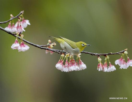 White-eye rests on branch at forest park in Fuzhou