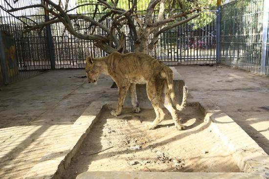 Starving lions at Sudan park