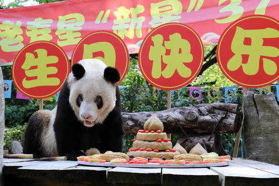 Xinxing, world's oldest captive giant panda, eats a birthday cake at a zoo in southwest China's Chongqing, Aug. 23, 2019. (Chongqing Zoo/Handout via Xinhua)
