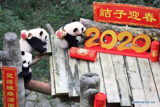 Panda cubs pose for photos for Chinese New Year greeting at Chongqing Zoo