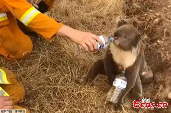 A koala drinks water offered from a bottle by a firefighter during bushfires in Cudlee Creek, south Australia, December 22, 2019. (Photo/Agencies)