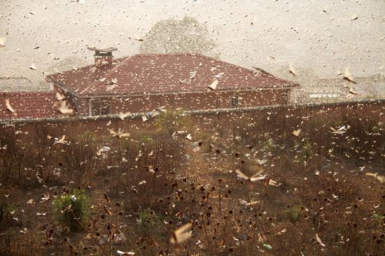 UN urges swift measures as large desert locust threatens food security in HoA