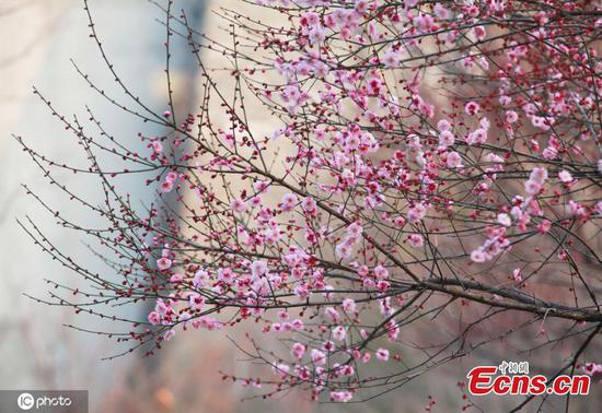 Spring declared as cherry blossoms bloom in Nanjing
