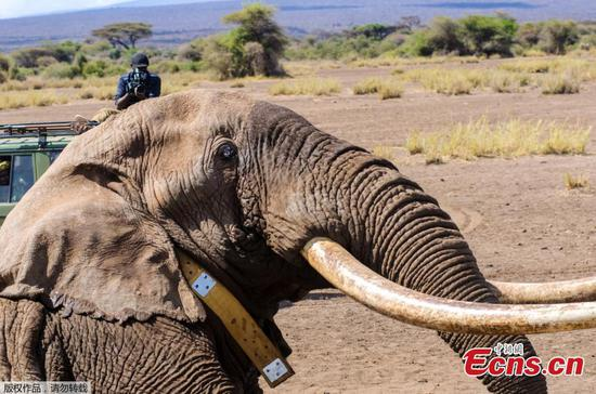 Tim the Elephant, one of Africa's last 'giant tuskers', dies
