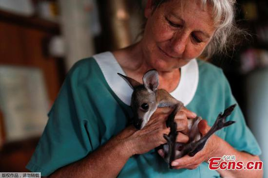 At home with couple who save baby kangaroos from the fires