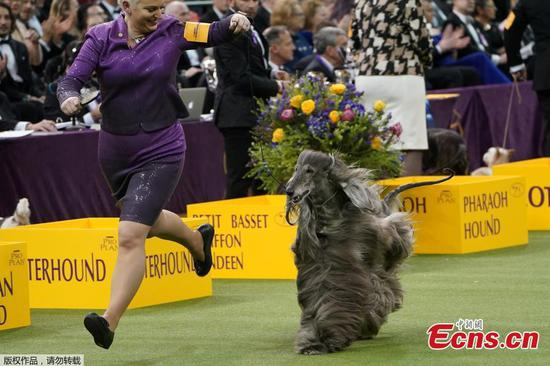 In pics: Westminster Kennel Club Dog Show