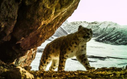 Researchers identify 40 snow leopards in Qinghai